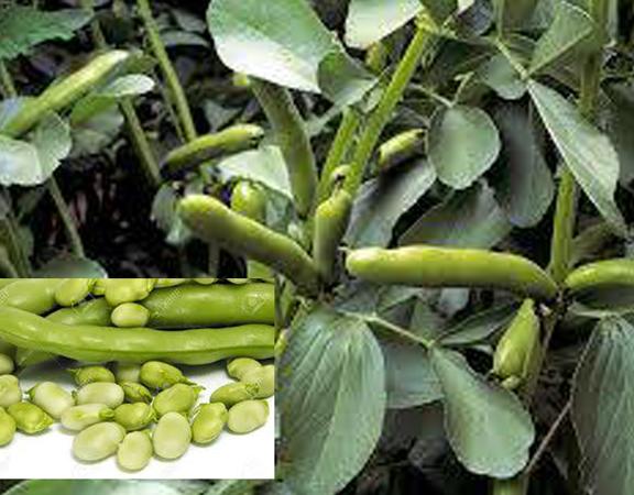 faba-beans