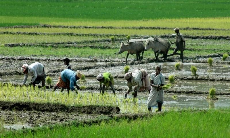 1249380331-farmers-working-on-the-paddy-field116859_116859