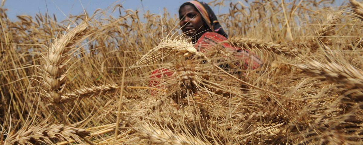 A Pakistani woman harvests wheat in Lahore .  (AFP PHOTO/Arif ALI)