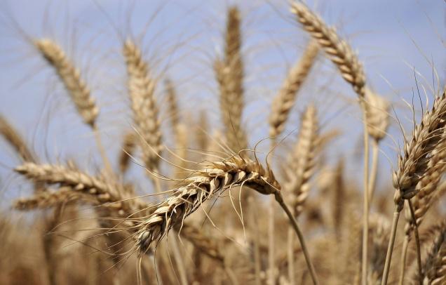 Photo: Wheat crop just before harvesting By Akhilesh Kumar