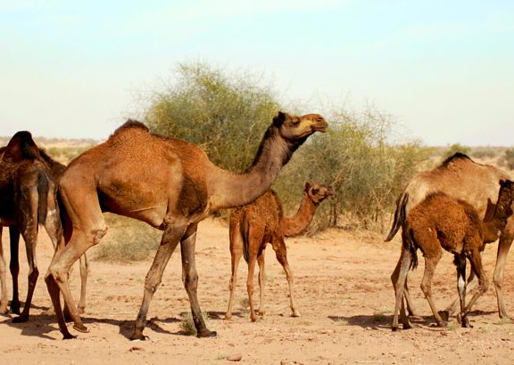 National-Research-Centre-on-Camel