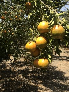 Orange Orchard in Kanad, Madhya Pradesh Photo: ANN/Brajesh Rajput