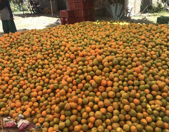 Bumper Orange Crop but No buyers. : Photo: ANN/Brajesh Rajput